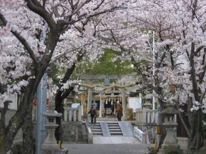 小戸神社の桜