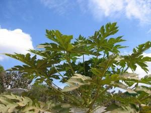 パパイヤの木(南インド バンガロール)