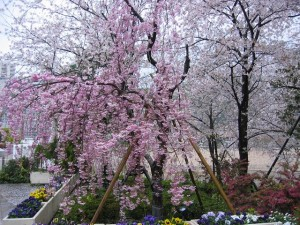 宝塚(兵庫県)の桜風景