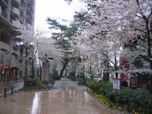 宝塚 花のみちの桜風景(兵庫県)