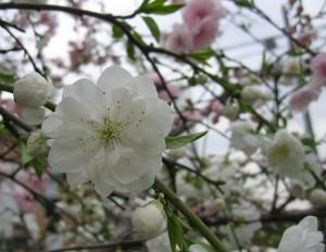 土井さん家の桃の花