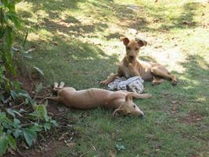 南インド バンガロールの犬 冬
