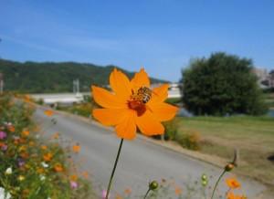 猪名川土手に咲くコスモスの花とミツバチ(兵庫県)
